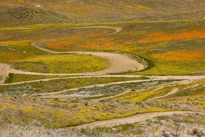 Speed track through mass of wildflower, damage to grassland habitat, Southern California by Bob Gibbons