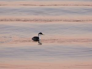Western Grebe (Aechmophorus occidentalis) adult, swimming at dusk, California, USA by Bob Gibbons