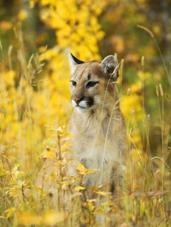 Cougar (Felis Concolor) Juvenile. A Solitary and Strongly Territorial Hunting Species that Requires