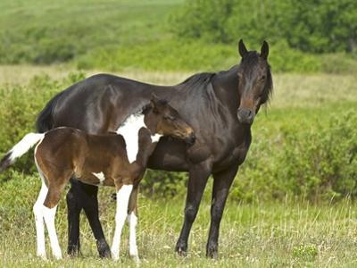 Horses (Equus Caballus) Female with Paint Foal, Ranch, Southwest Alberta, Canada.