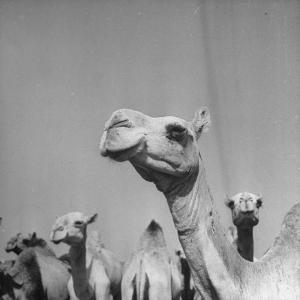 Camels Being Sold at Animal Market by Bob Landry