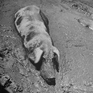 Hog Weighing 200 Lbs. Wallowing in a Mud Pile by Bob Landry