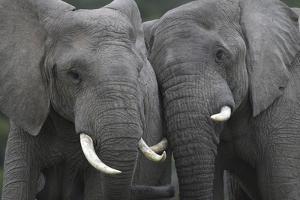 African Elephants 111 by Bob Langrish