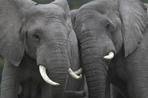African Elephants 111 by Bob Langrish