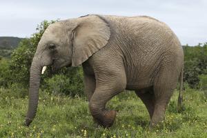 African Elephants 135 by Bob Langrish