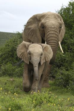 African Elephants 138 by Bob Langrish