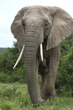 African Elephants 140 by Bob Langrish
