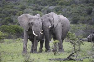 African Elephants 171 by Bob Langrish