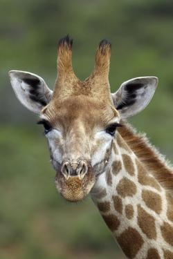 African Giraffes 002 by Bob Langrish