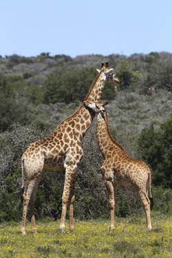 African Giraffes 022 by Bob Langrish