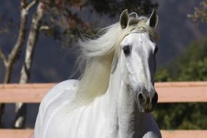 Andalusian 003 by Bob Langrish