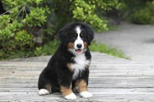 Bernese Mountain Dog 19 by Bob Langrish