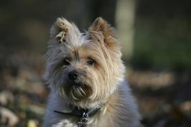 Affordable Cairn Terriers Posters for sale at AllPosters com