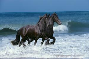 Friesians Sea by Bob Langrish