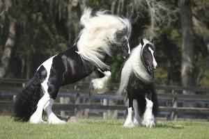 Gypsy Vanner 012 by Bob Langrish