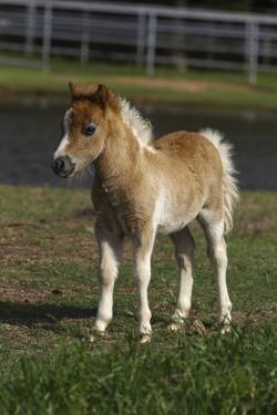 Miniature Horse 001 by Bob Langrish