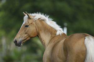 Palomino Warmbloods 016 by Bob Langrish