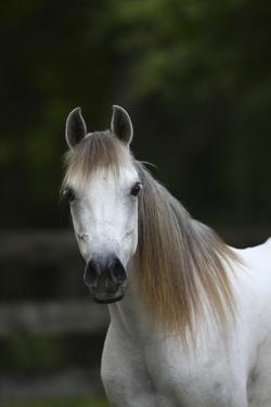 Ploomwood Arabians 029 by Bob Langrish