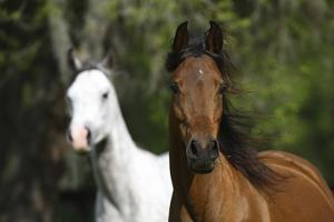 Ploomwood Arabians 037 by Bob Langrish