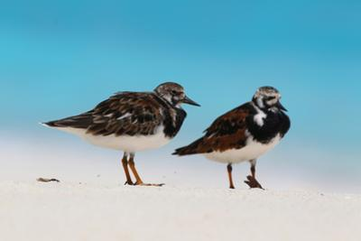 Ruddy Turnstone (Arenaria interpres) two adults, breeding plumage, standing on beach, Bird Island
