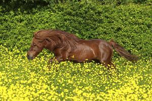 Shetland Pony 022 by Bob Langrish