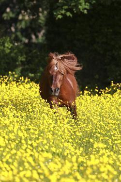Shetland Pony 025 by Bob Langrish