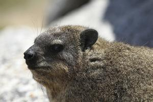 South African Dassie Rat 005 by Bob Langrish