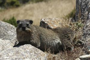 South African Dassie Rat 011 by Bob Langrish