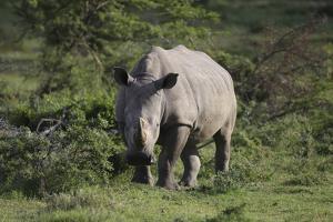 South African White Rhinoceros 011 by Bob Langrish