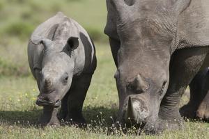 South African White Rhinoceros 014 by Bob Langrish