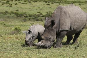 South African White Rhinoceros 016 by Bob Langrish