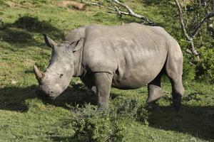 South African White Rhinoceros 022 by Bob Langrish