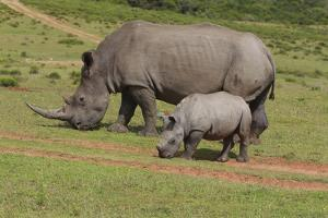 South African White Rhinoceros 028 by Bob Langrish
