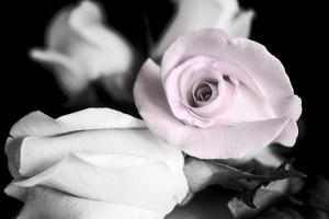 Attache Roses BW by Bob Rouse