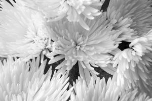 Blooming White BW by Bob Rouse