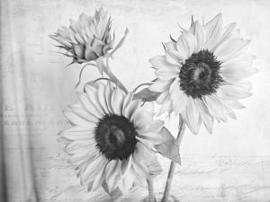 Sunflowers2 BW by Bob Rouse