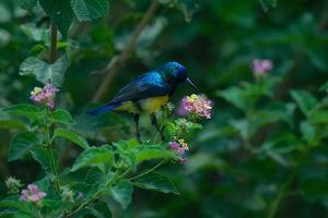 A Beautiful Iridescent Blue Bird on a Branch of Flowers by Bob Smith