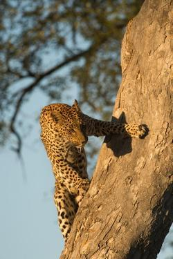 A Female Leopard Climbing a Tree Trunk by Bob Smith