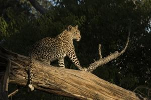 A Female Leopard in a Tree by Bob Smith