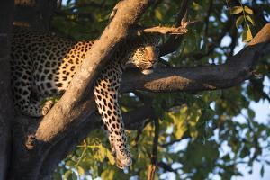 A Female Leopard Resting in a Tree by Bob Smith