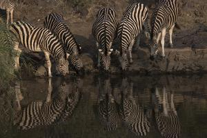 A Herd of Burchell's Zebras Drinking at the Water's Edge by Bob Smith