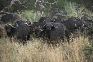 A Herd of Cape Buffalo by Bob Smith