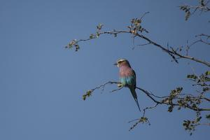 A Lilac Breasted Roller Perched in a Tree by Bob Smith