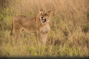 A Lioness in Tall Grasses Snarling or Displaying Flehmen Behavior by Bob Smith