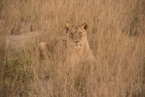A Lioness Resting in Tall Grasses by Bob Smith