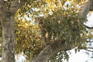A Young Female Leopard in a Tree Top by Bob Smith