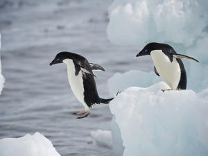 Adelie Penguins Leaping from Iceberg to Iceberg by Bob Smith