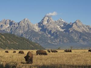 Bison Grazing in the Grasslands Below the Teton Range by Bob Smith
