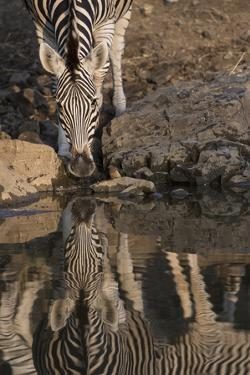 Close Up of a Zebra Drinking, and its Reflection in the Water by Bob Smith