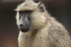 Close Up Portrait of a Baboon, Papio Species by Bob Smith